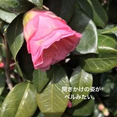 「サーモンピンクみたいな 可愛い色の椿さん…」(2枚目)