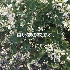 「近くのお寺さんに咲いてます。」(1枚目)