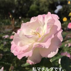「春咲きより秋咲きの方が 濃いピンク色 に…」(1枚目)