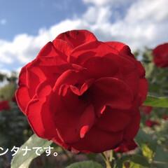 「ドイツの薔薇🌹 花びらの先が黒くなる 個…」(1枚目)