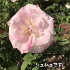 「咲進むと中の花びらが クシュクシュになっ…」(1枚目)