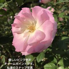 「春咲きより秋咲きの方が 濃いピンク色 に…」(2枚目)