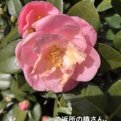 「サーモンピンクみたいな 可愛い色の椿さん…」(1枚目)