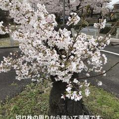 「近所のお寺の桜です。 わかりにくいですが…」(1枚目)