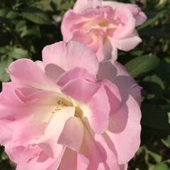 「春咲きより秋咲きの方が 濃いピンク色 に…」(3枚目)