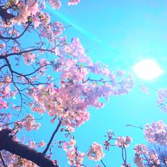 花/春/桜 あっという間に散ってしまう桜。さみしいな…(1枚目)