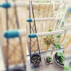 ベランダ園芸/フウセンカズラ/プランター/アイアンタワー ♡フウセンカズラ🎈  種蒔きしてからなか…(2枚目)