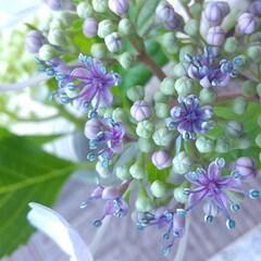 紫陽花/暮らし ♡紫陽花の花 ♡紫陽花のガク  『そんな…