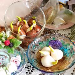 水栽培/チューリップ/花/植物/暮らし 昨日、いつも行くお花屋さんで… チューリ…
