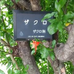 アカツメグサ/ねむの木/ザクロ/植物/実/花/... ♡ザクロ ♡ねむの木 ♡アカツメグサ  …(4枚目)