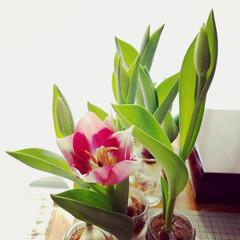 植物/花/水栽培/チューリップ/暮らし 2020.02.07 正午  昨日と同じ…