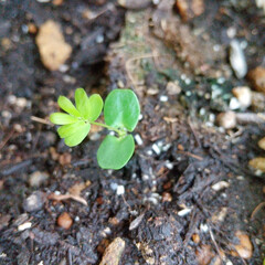 オジギソウ/発芽/種蒔き/ベランダ/プランター園芸/ベランダ園芸 ♡オジギソウ  🌧️🌧️🌧️雨ばかりで …(1枚目)
