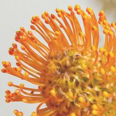 雑貨/インテリア/ハンドメイド/花 ♡ピンクッション  南アフリカのお花。 …