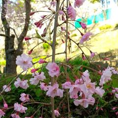 桜/おでかけ/暮らし ♡枝垂れ桜 ♡散歩道  先日載せた‥大好…