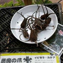 おでかけ/植物園/植物  ♡ツノゴマ(悪魔👿の爪) ♡マムシグサ…(2枚目)