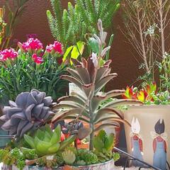 多肉植物/花/暮らし ♡多肉植物の花  今朝… ついに花が咲き…