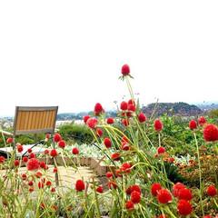 富士五湖/大石公園/千日紅/おでかけ ♡千日紅 ほんとかわいい子❤ ベンチとな…