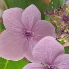 あじさい/梅雨/暮らし/ガクアジサイ ♡中央の小さい花見てね ♡咲いたよ 🥰🥳…