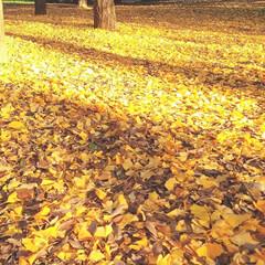 公園/おでかけ/紅葉/ナチュラル ♡銀杏 ♡公園  黄色の絨毯 陽射しを浴…