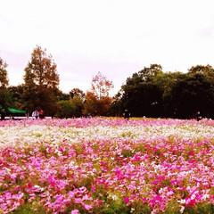 浜名湖ガーデンパーク/おでかけ  コスモス  ゆらゆら~ かわいいなぁ💠