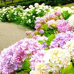 あすかてくるで/しらとりの郷/植物/道の駅/梅雨/あじさい/... 大阪羽曳野にある道の駅『しらとりの郷』で…