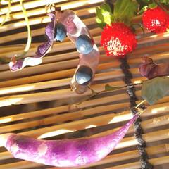 自然/植物/散策 ♡紫色の豆 ♡ノササゲ  紫色のマメを見…