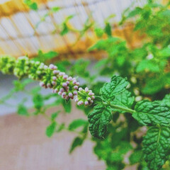 植物/暮らし ♡ストロベリーミント  夕べからの強風で…