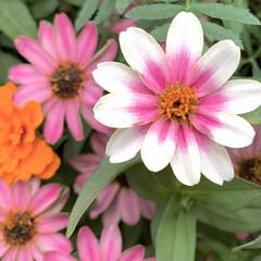 百日草/ジニア/花が好き/植物写真 こんにちは🧸🌼  どんどん年末に近づいて…(1枚目)