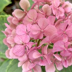 花が好き/ピンク/アジサイ/紫陽花/植物写真 こんばんは🧸🌙  七夕っていつも雨のイメ…