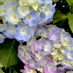 紫陽花/アジサイ/花が好き/植物写真 おはようございます🧸☔️  今日は朝から…(1枚目)