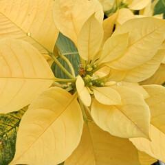 ビタミンカラー/ポインセチア/植物写真 こんにちは🧸🌼  たぶん珍しいのではない…
