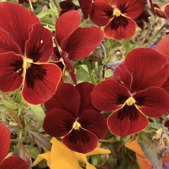 笑顔でいよう/ビオラ/花が好き/植物写真 おはようございます🧸🔆  今日は1日笑顔…(3枚目)