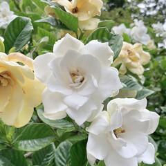 植物写真/花が好き/雨あがりの花/花 おはようございます🧸🌥  今朝はくもりの…