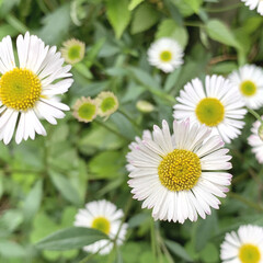 ハルジオン/雑草/植物写真 おはようございます🧸🌥  今日はほどよく…