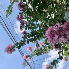百日紅/サルスベリ/ピンク/花が好き/植物写真 おはようございます🧸🔆  今日も暑くなり…(1枚目)