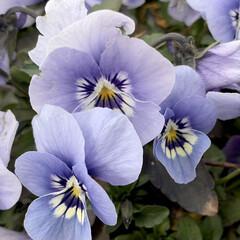 笑顔でいよう/ビオラ/花が好き/植物写真 おはようございます🧸🔆  今日は1日笑顔…(2枚目)