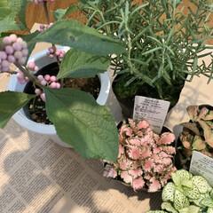 フィットニア/ローズマリー/モモシキブ/緑のある暮らし/花が好き 善は急げ🐇💨  ベランダガーデン初手は …