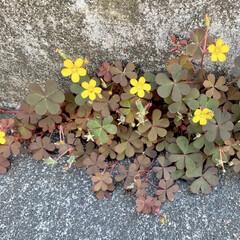 アカカタバミ/雑草/植物写真 おはようございます🧸🌥 今日は肌寒いです…