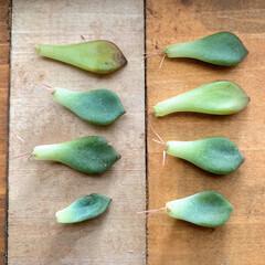 多肉植物のある暮らし/多肉植物/100均/DIY ポロポロ落ちた多肉の葉っぱを放置しておい…