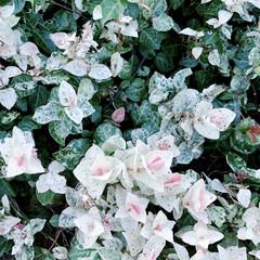 ハツユキカズラ/初雪カズラ/植物写真/涼しげ こんにちは🧸🥨  最近仕事が忙しく、 L…