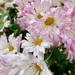 ピンク/ご近所散歩/花が好き/植物写真/スプレーマム こんにちは🧸🌧  朝からスッキリしないお…(1枚目)