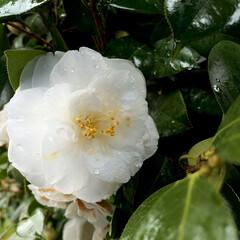 フォロー大歓迎/白椿/植物写真/おでかけ 昨日はずっと雨降りでしたが、 なんと途中…