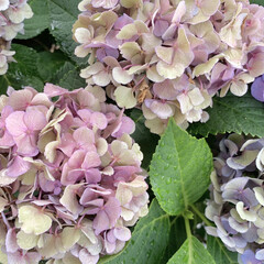 花が好き/好みの色/アジサイ/紫陽花/植物写真 おはようございます🧸☀️ 今日は起きたら…(1枚目)