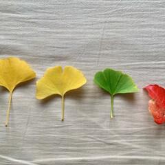 小さい秋みつけた/落ち葉/紅葉 強風注意報が出ています。 道は落ち葉だら…(1枚目)