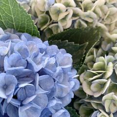おでかけ/紫陽花/アジサイ/花が好き/植物写真 おはようございます🧸🔆  今週も始まりま…(1枚目)