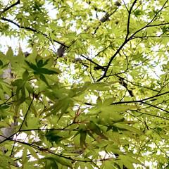 ご挨拶/緑のある暮らし/イロハモミジ/植物写真/暮らし イロハモミジ。 紅葉していない緑のもみじ…