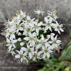 道端の花/ニラの花/花が好き/植物写真/花 おはようございます🧸☀️  もうすっかり…