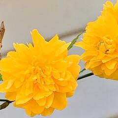 花のある暮らし/植物写真/おでかけ/ビタミンカラー/ヤマブキ ビタミンカラーでこんにちは🧸🌼  買い物…