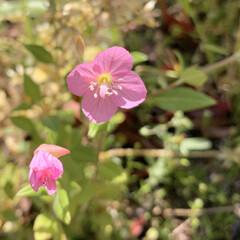 雑草/ユウゲショウ/花のある暮らし/植物写真/暮らし おはようございます🧸☀️  昨日は憂鬱な…