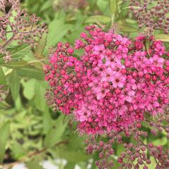 ハート/ピンク/シモツケの花/花のある暮らし/植物写真 こんにちは🧸🌥  いつも通る広場に見慣れ…